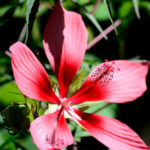 Hibiscus Texas Star