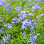 Plumbago - Foundation Plants for Zone 8