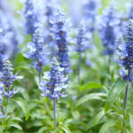 Salvia Mystic Blue Spires - Foundation Plants for Zone 8