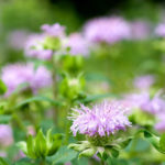 Bee Balm - Foundation Plants for Zone 8