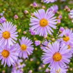 Fall Asters - Foundation Plants for Zone 8